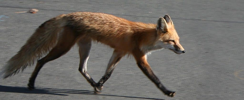 Red fox in urban street