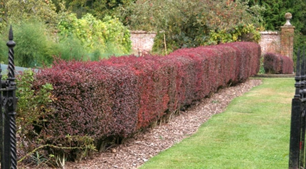 Low maintenance and slow growing hedge