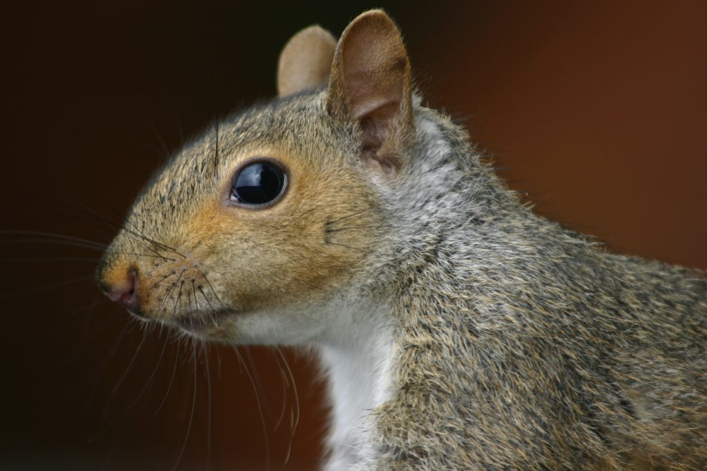 How To Stop Squirrels From Entering The Loft Attic