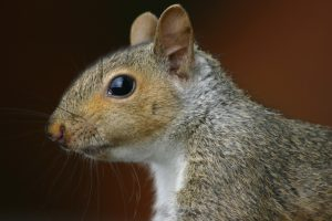 How to Stop Squirrels and Other Animals From Getting Into the Loft/Attic
