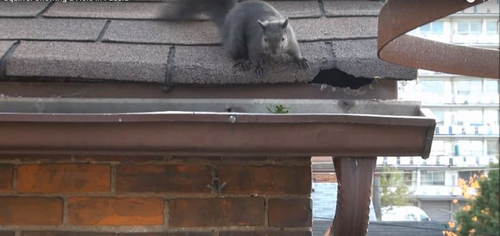 Grey squirrel on roof