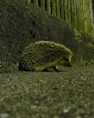Hedgehog in street