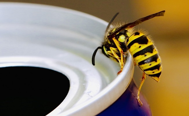 A common wasp